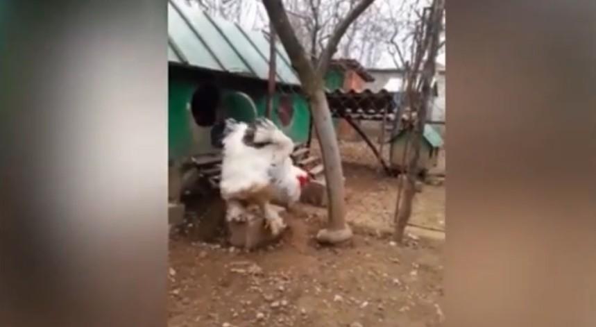 Γίγαντας κόκορας